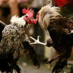 Cara Main Sabung Ayam S128