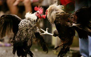 Cara Main Sabung Ayam S128 untuk Dapatkan Keuntungan
