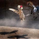 Situs Sv388 Tempat Main Sabung Ayam Online